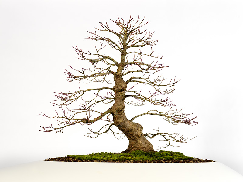 Érable bonsaï