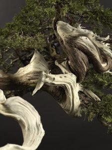 Pin bonsaï